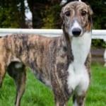 Berkie Greyhound