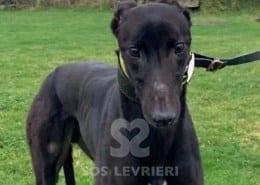 Cody 2 Greyhound