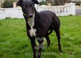 Dancer Greyhound