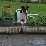 Goldie Greyhound
