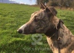 Hamasaki Greyhound