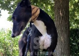 Hegon Greyhound