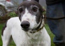 Laurie Greyhound