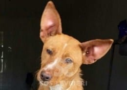 Lucky jr Podenco