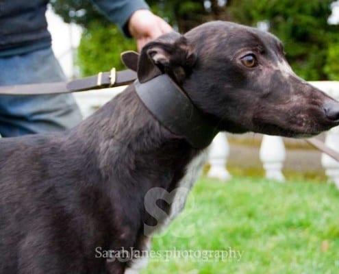 Maisie 2 Greyhound