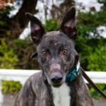 Norman2-Greyhound