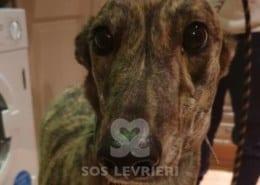 Rosie 6 Greyhound Levriero in adozione