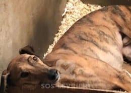 Jasper 2 Greyhound