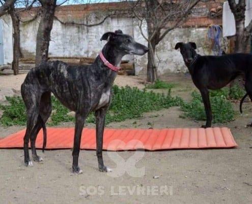 Lola 3 Galgo