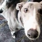 Skye 2 Greyhound Levriero in adozione
