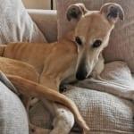 Florence Greyhound