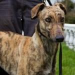 Sammy Greyhound