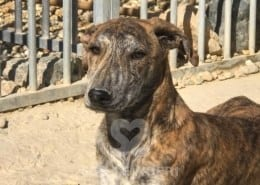 Star Mix Galgo