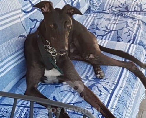 Cash 3 Greyhound