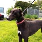 Mandy 4 Greyhound