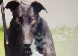 Goya Greyhound
