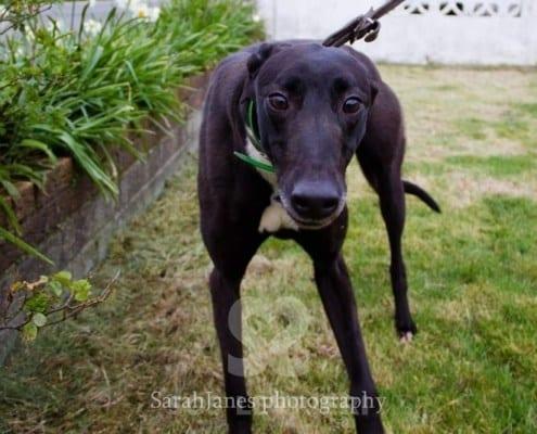 Majesty Greyhound
