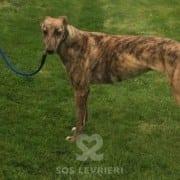 Tilly Greyhound