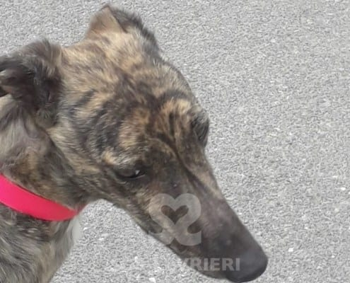 Fern Greyhound