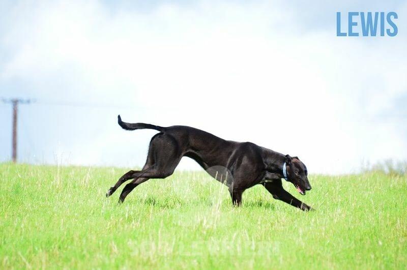 Lewis Greyhound