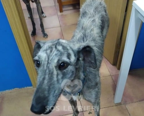 Ares Galgo