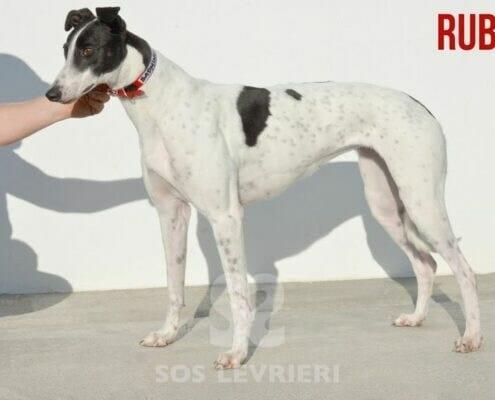 Ruby 2 Greyhound