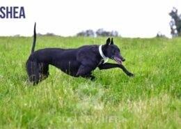 Shea - Greyhound