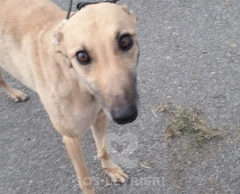 Tilly 2 Greyhound