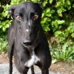 Turbo Greyhound
