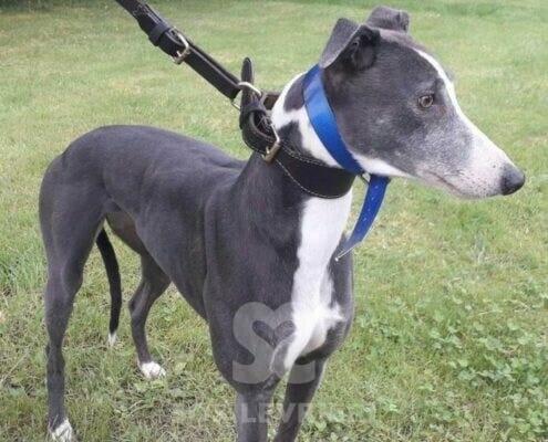 Coco 4 Greyhound