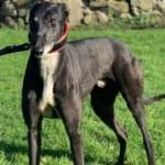 Corky Greyhound