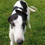 Donal Greyhound