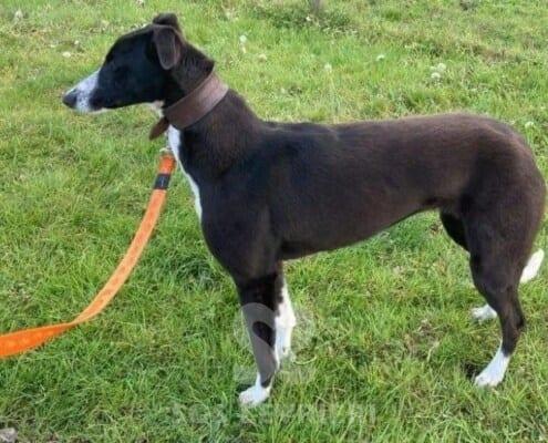 Lottie Greyhound