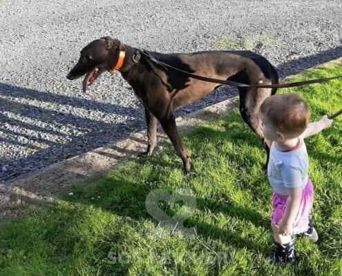 Madrid Greyhound