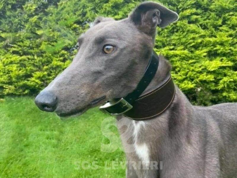 Murty Greyhound