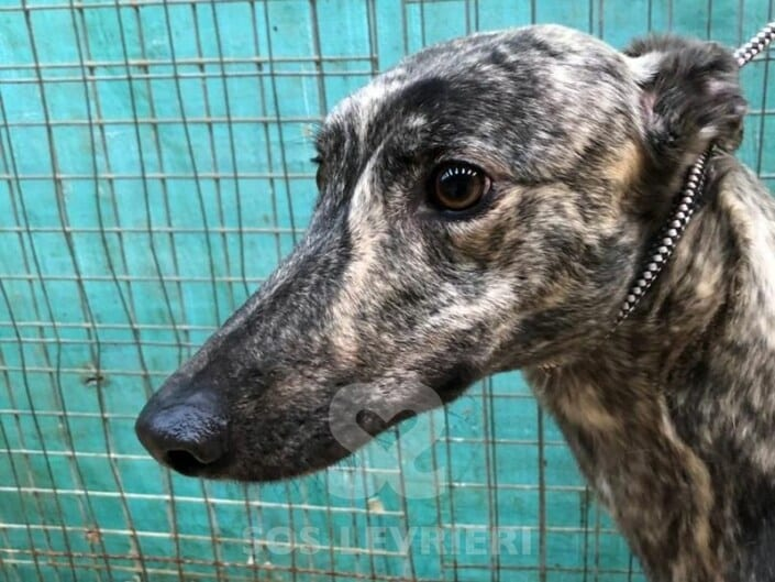Holly 4 Greyhound