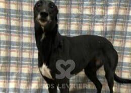 Spotty Greyhound