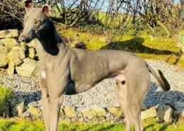 Paddy 3 Greyhound