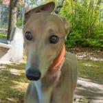 Dell Greyhound