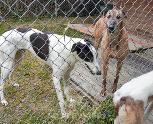 Shirani Greyhound