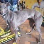 Bluey 4 Greyhound