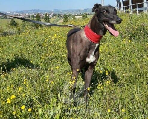 Leety Greyhound