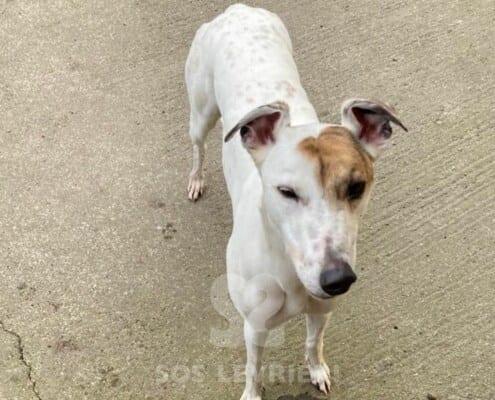 Snowie Greyhound