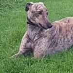 Tiger 2 Greyhound