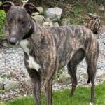Dotie Greyhound