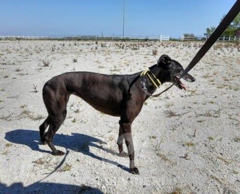 Lyneen Greyhound
