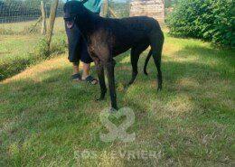 Frank 2 Greyhound