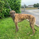 Jenny Greyhound