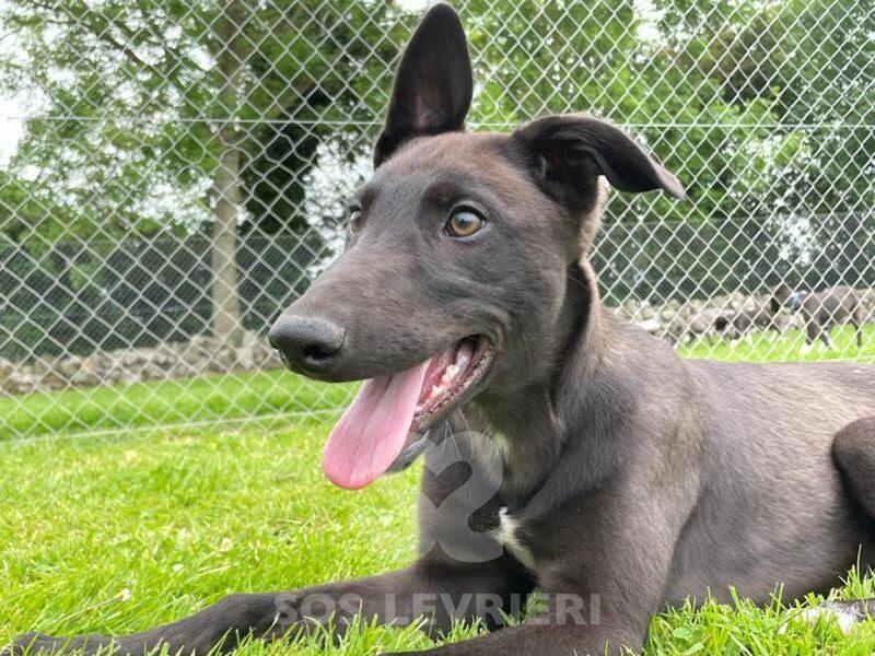 Jj Greyhound
