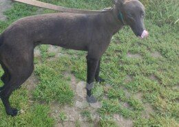 Johnston Greyhound